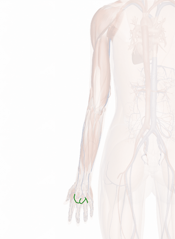 vene metacarpali dorsali