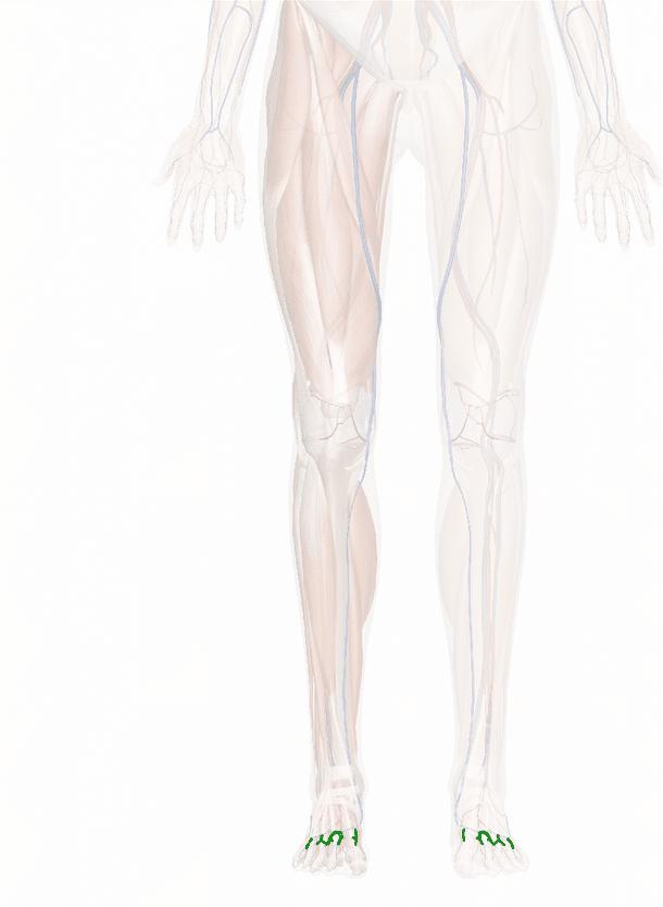 vene metatarsali dorsali