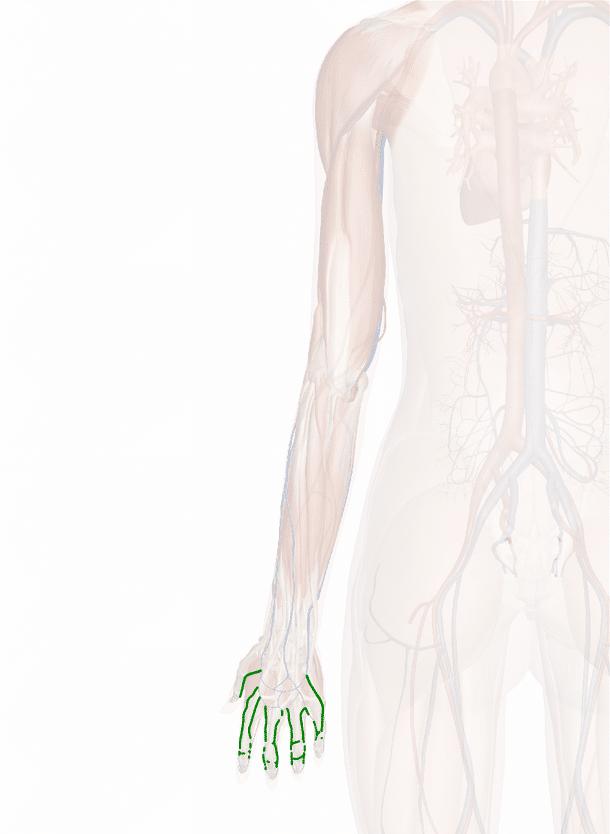 vene digitali dorsali della mano