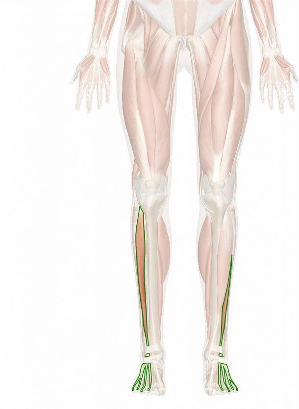 muscolo estensore lungo delle dita