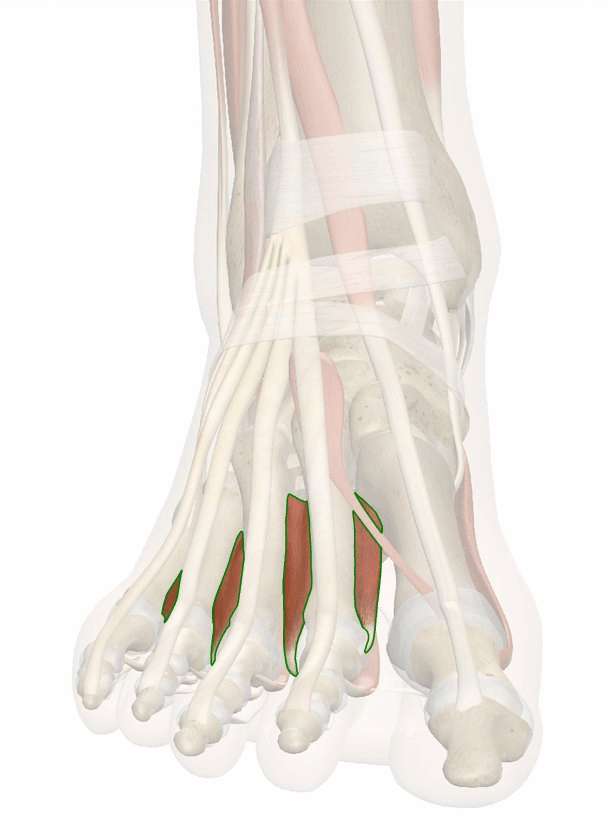 muscoli interossei dorsali del piede