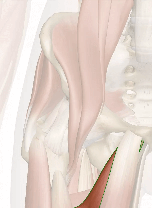muscolo adduttore breve
