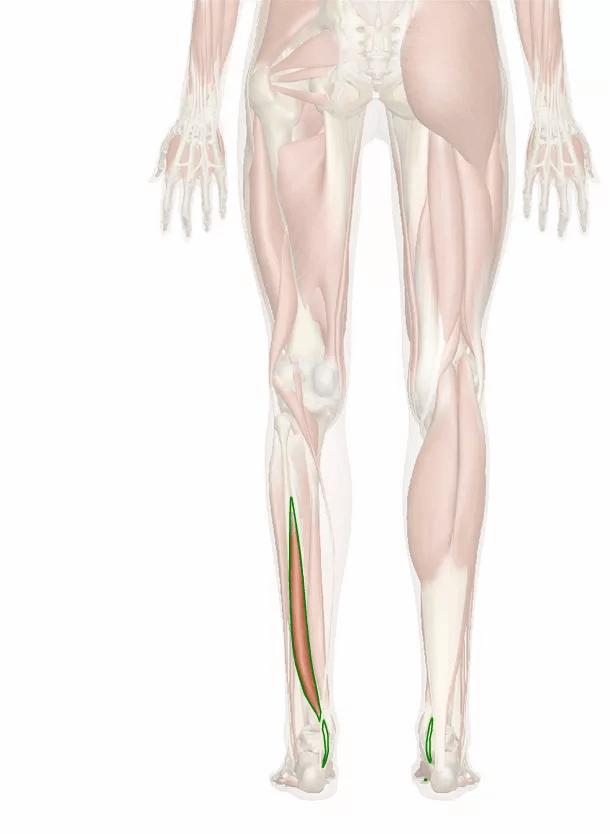 muscolo flessore lungo dell'alluce