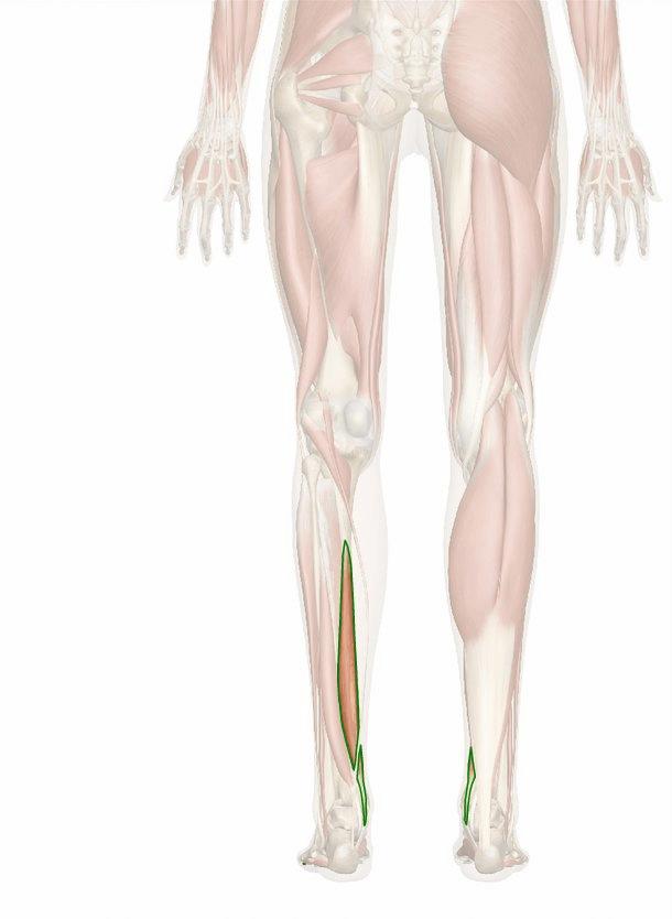 muscolo flessore lungo delle dita