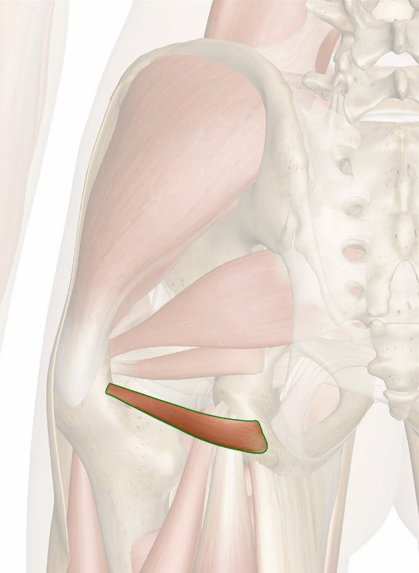 muscolo gemello inferiore