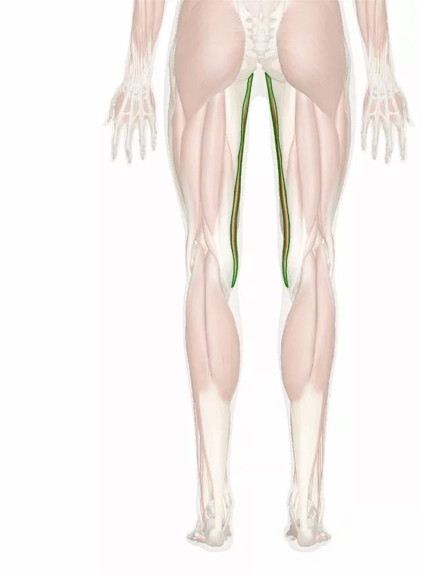 muscolo gracile