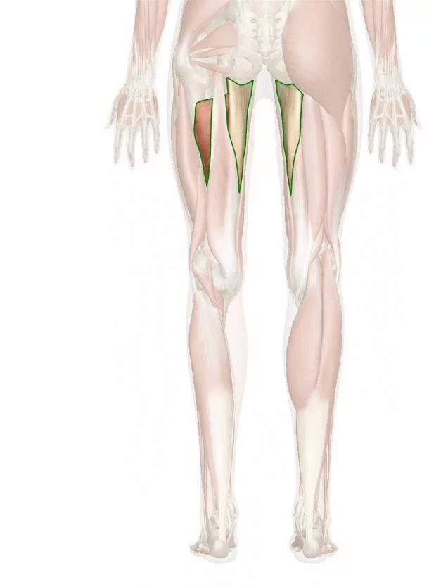 muscolo grande adduttore