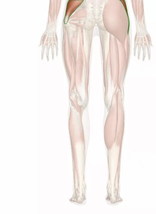 muscolo medio gluteo