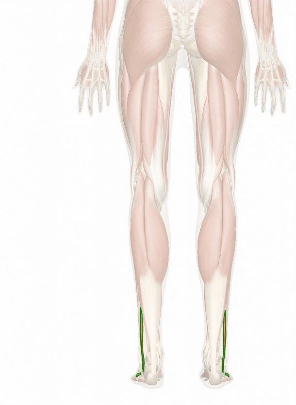 muscolo peroneo breve
