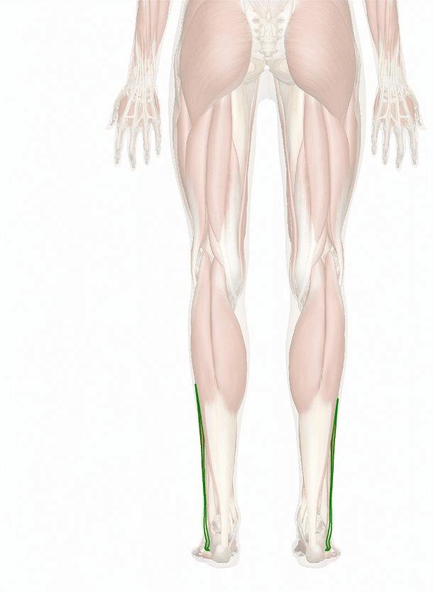 muscolo peroneo lungo