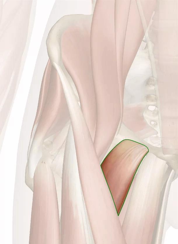 muscolo pettineo