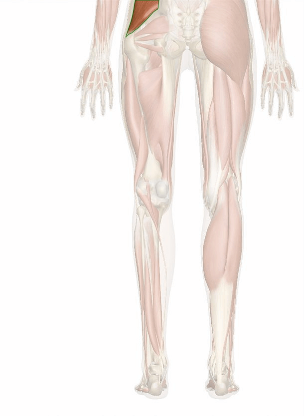 muscolo piccolo gluteo