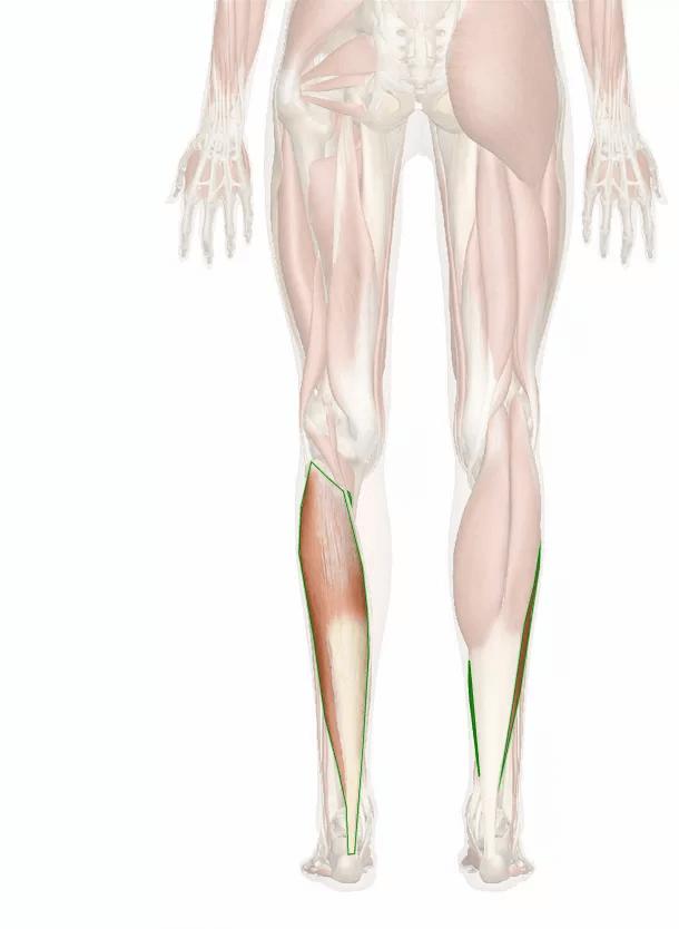 muscolo soleo